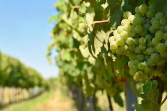 The wine in the vineyard. Wine region of South Moravia Czech Republic.