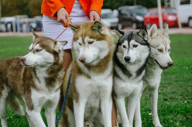 Женщина привела на прогулку собак породы хаски.