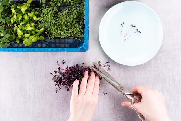 Женщина срезает ножницами микрозелень и выкладывает ростки на тарелку. микрогрин микс, выращенный в домашних условиях