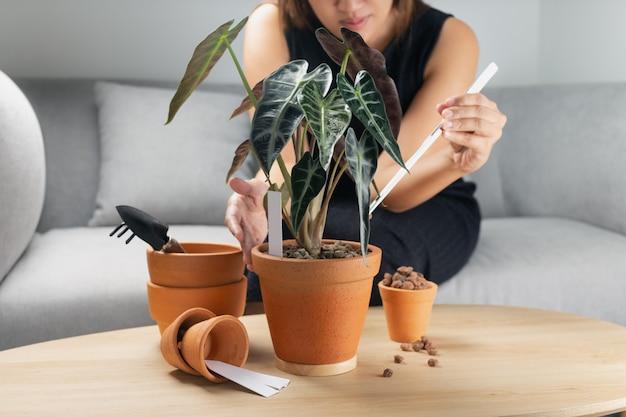 나무 테이블에 점토 냄비에 alocasia bambino 화살표 또는 alocasia sanderiana 황소를 이식하는 여자 손. 가정 정원의 개념