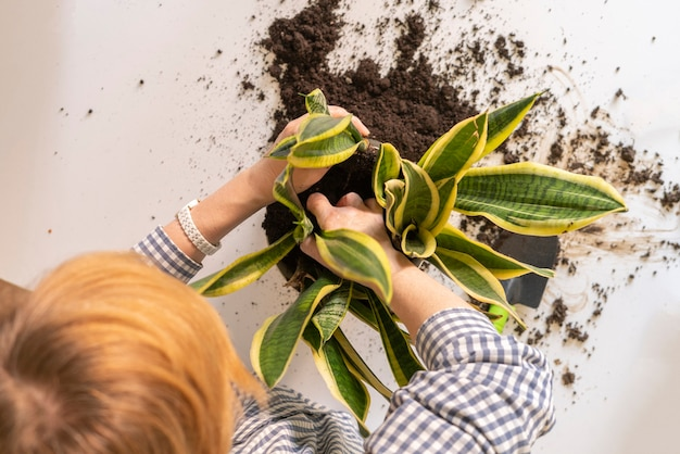Женщина руки сажает растение змеи в горшке у себя дома. dracaena trifasciata или суккулентное дерево