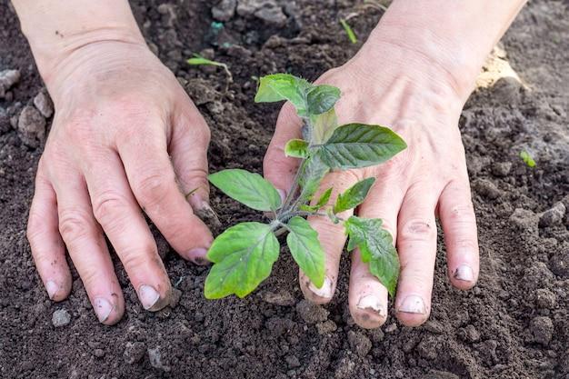 女性の手がトマトの芽の近くの地面を凝縮します