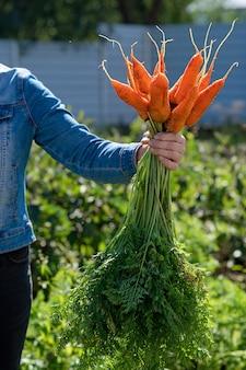 Женская рука держит кучу моркови. концепция доставки свежесобранных овощей.