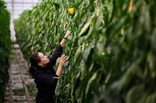 労働者はピーマンの作物を収集します