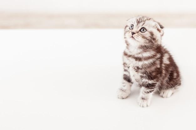 Мир такой большой. вид сверху любопытного котенка шотландской вислоухой, глядя в сторону