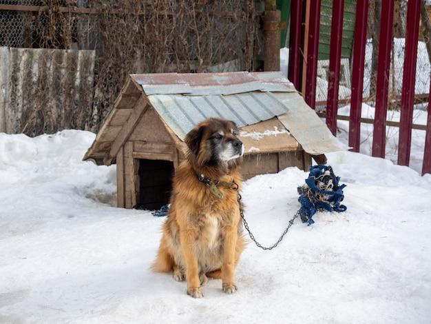 庭の犬は冬に鎖で結ばれた犬小屋の近くに座っています。犬、ホームセキュリティ
