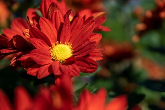 公園の黄色と赤の菊が咲いています