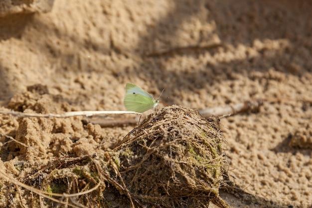 Желтая бабочка сидит и питается на тенистой и влажной песчаной почве у береговой линии.