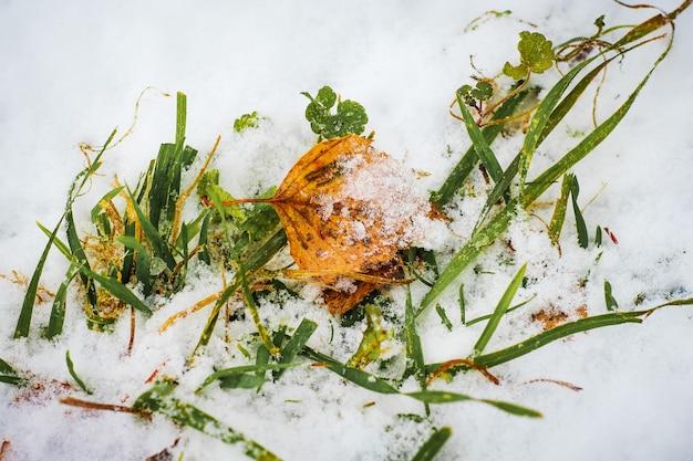 노란색 바랜 자작나무 잎은 풀밭의 눈 위에 놓여 있습니다. 겨울날 _