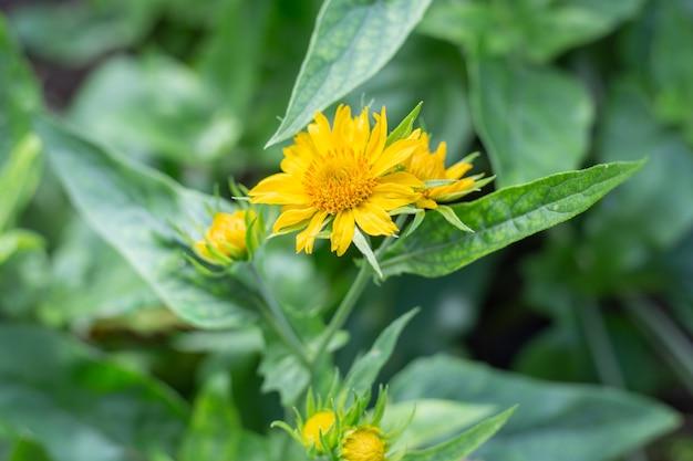 多年生植物ガイラルディア・アリスタタ・マキシマ・アウレアの黄色い花が庭に咲きます