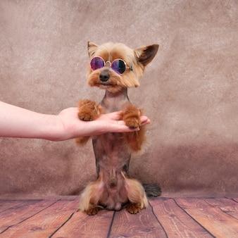 ヨークシャーテリアは後ろ足で座り、犬はグルーマーの腕に寄りかかります