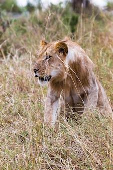 Молодой лев настороженно относится к саванна масаи мара кения африка