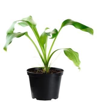 若い植物は肥沃な土壌から成長し、白い背景で隔離されます