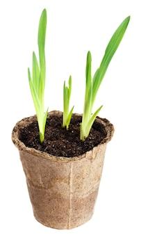 Молодое растение вырастает из плодородной почвы изолированно на белом фоне