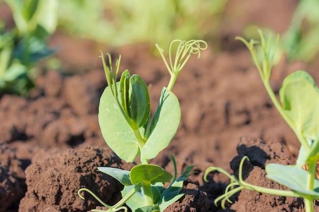 エンドウ豆/フィールドエンドウ豆の若い芽