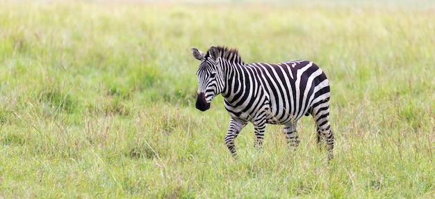ゼブラ一家は他の動物のすぐ近くのサバンナで草を食む