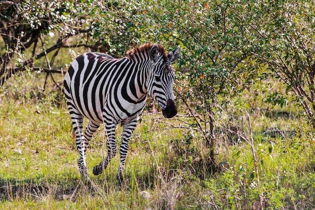 Зебра в кустах. саванна масаи мара. кения, африка