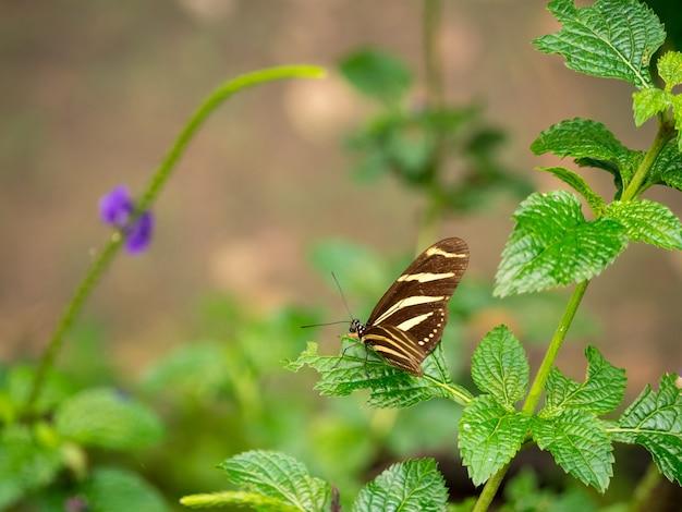 Длиннокрылая зебра или геликонийца зебры (heliconius charithonia)