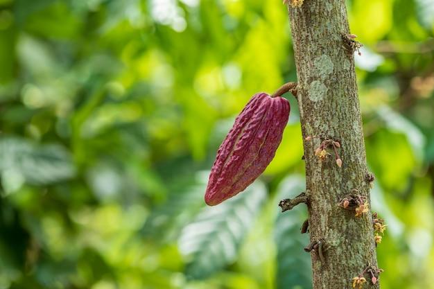 Дерево какао (theobroma cacao). органические стручки какао в природе.