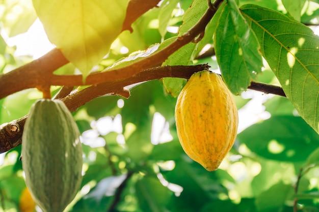 Дерево какао (theobroma cacao)