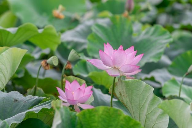연꽃 연못에는 많은 분홍색 연꽃이 있습니다