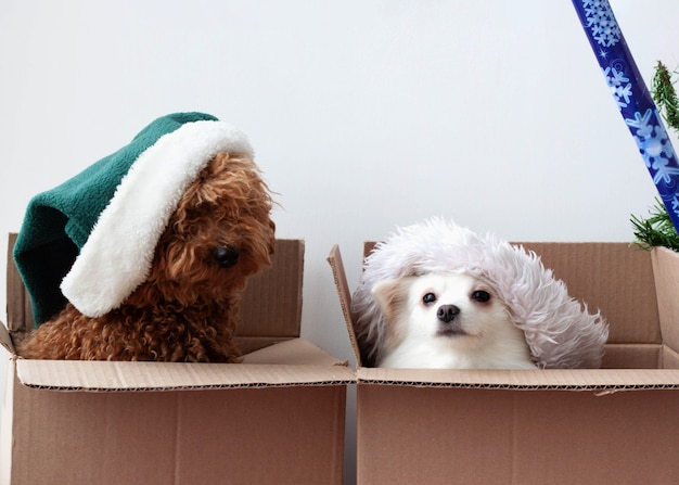 There are two dogs in two cardboard boxes, a pomeranian and a poodle in hats.