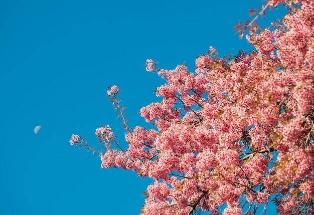 Это дикая гималайская вишня, цветущая в чиангмае, таиланд. в чиангмае, таиланд.