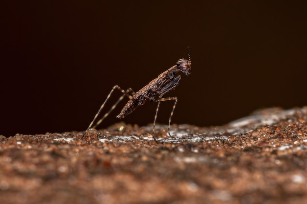 Thespid mantis nymph of the family thespidae