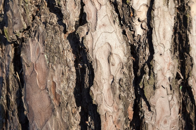 Thick bark of old pine, photographed close-up in the park. small depth of field