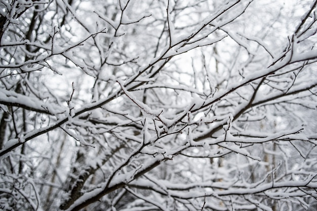 Толстые ветви деревьев, покрытые снегом