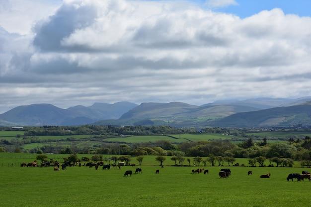 Густые облака над пейзажем сельхозугодий с пасущимися коровами
