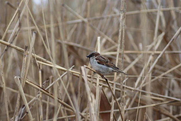 Thick fluffy sparrow on the branches of dry reeds