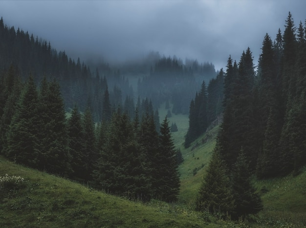 Thick fog in a fir forest in the dark mountains