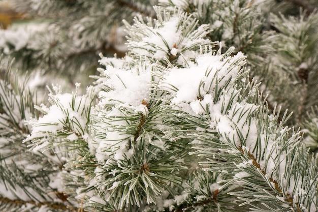 Толстые ветки сосны, покрытые снегом