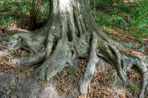 Thick roots of the old tree in the forest