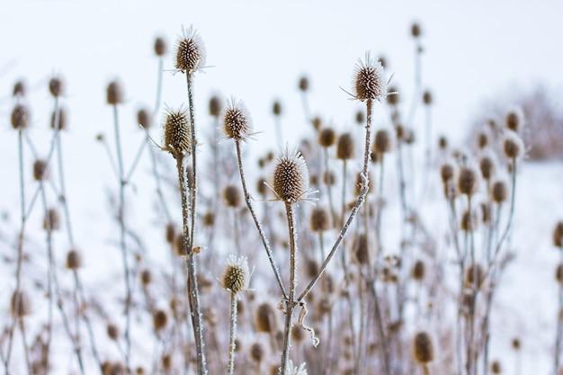 서리가 내린 날씨에 겨울에 엉겅퀴의 두꺼운 덤불 프리미엄 사진