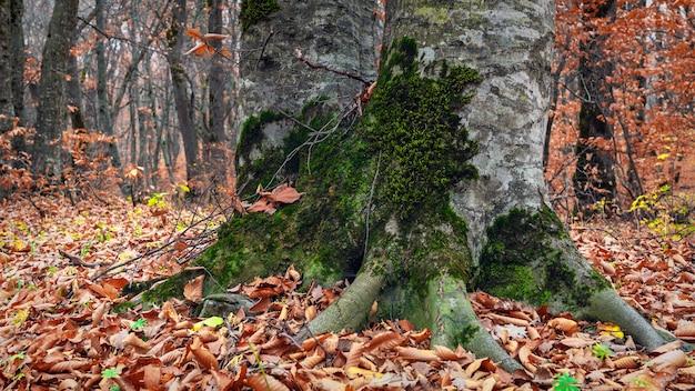 가을 숲에 있는 오래된 나무의 두꺼운 줄기