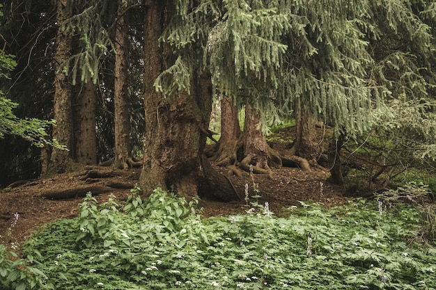 오래된 가문비 나무와 기괴한 뿌리가있는 숲의 덤불