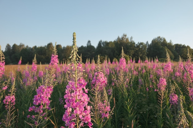 Thickets of a blossoming willow-herb