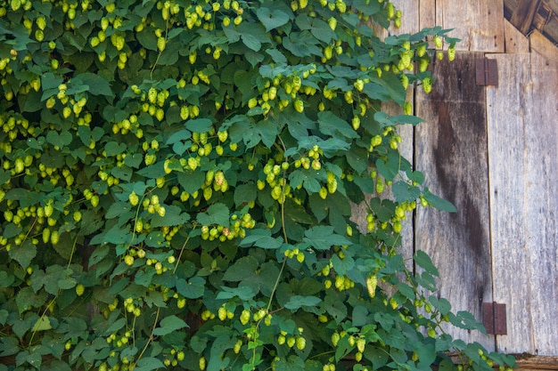 Thickets of green hops on an old wooden fence
