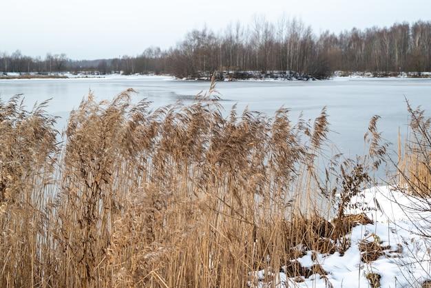 冬の湖岸の乾燥した葦の茂み