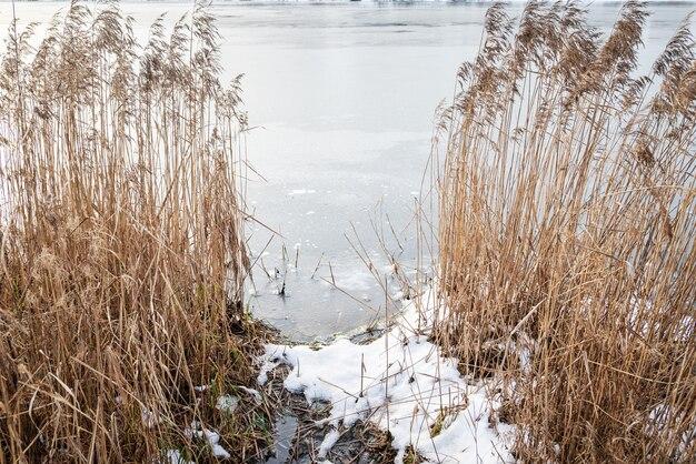 湖岸の冬の風景に円錐花序を持つ乾燥した葦の茂み