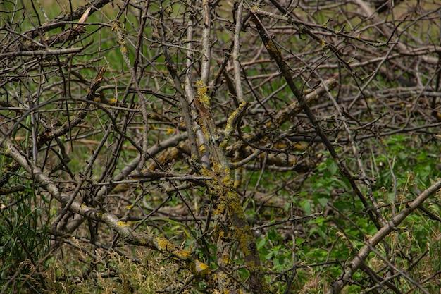 森の中の乾いた小枝の通行不能な果樹園の茂み