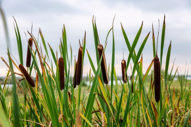 Thickets of reeds on the banks of the river.