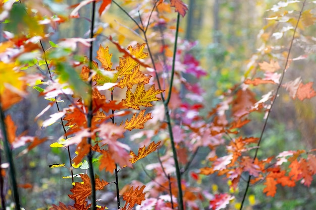 Thickets young trees of red oak with multicolored autumn leaves