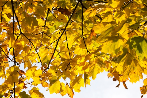 紅葉が黄色くなるカエデの細い枝、日中は空を背景にクローズアップ