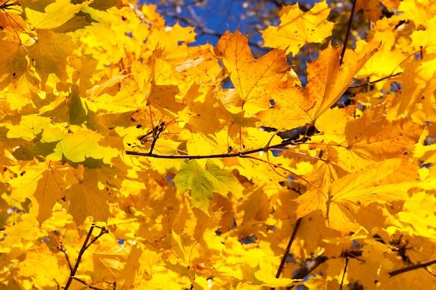 カエデの葉がたくさんある細い枝、初秋に葉が黄色に変わった
