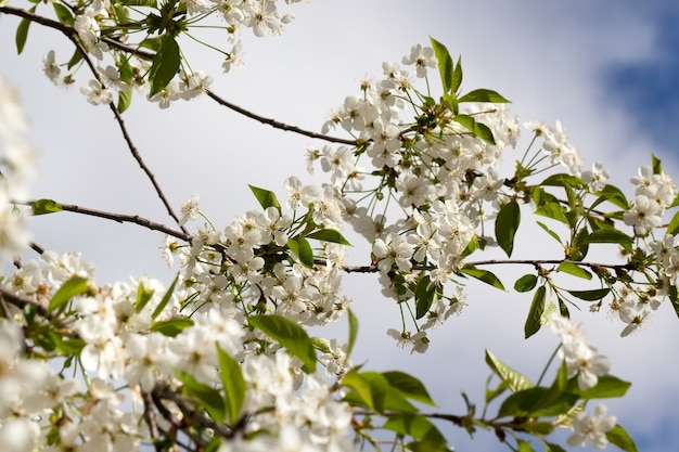 Thin cherry branches, covered with a lot of white cherry blossoms in the spring