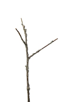 A thin dry branch with three branches overgrown with lichen gray along its entire length, isolated on a white background.