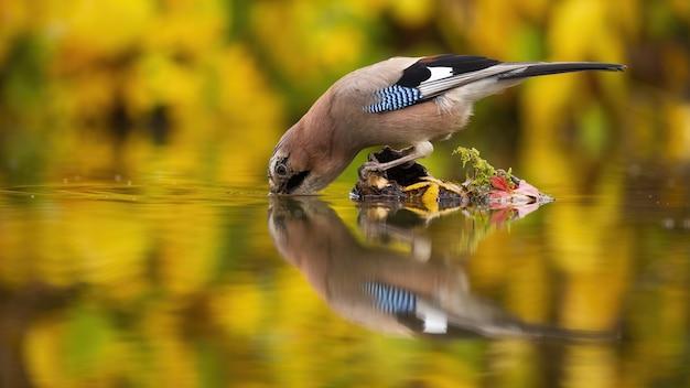 森の湖の小さな島から水を飲む喉が渇いたカケス